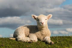 Basking little lamb. Picture of basking little lamb Royalty Free Stock Image