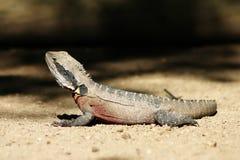 Basking lizard. A lizard basking in the sun stock image