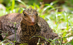 Basking Monitor. A close up of a water monitor lizard's head, noting its' pointed snout royalty free stock photo