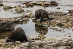 Basking New Zealand fur seals Stock Photo