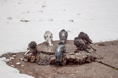 Basking pigeons. Pigeons bask in the sewer manhole in the Winter Royalty Free Stock Images