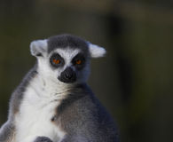 Basking Ringed-tailed Lemur Royalty Free Stock Photos