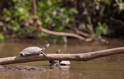 Basking River Turtle with Butterfly Royalty Free Stock Images
