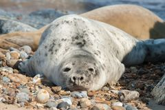 Basking seal on a beach stock images