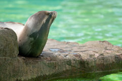 Basking Sealion Stock Photos