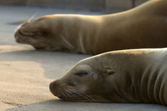 Basking sealions Stock Images