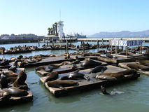 Basking sealions. Hundreds of sealions bask in the sun on the docks of a marina stock image