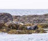 Basking seals Royalty Free Stock Image