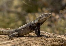 Basking Spinytail Iguana Στοκ Φωτογραφίες