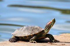 Basking in the sun. A Red Eared slider turtle basking in the sun Royalty Free Stock Photography