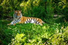 Basking in the Sun. This Amur Tiger is laying in the shade to get out of the summer afternoon heat stock photos