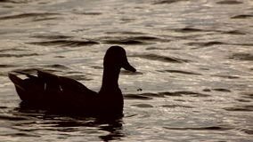 Basking in the sun. Duck lying in the warmth Royalty Free Stock Photography
