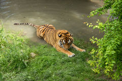 Basking Tiger Royalty Free Stock Photos