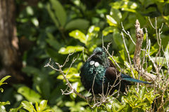 Basking tui bird Stock Photo