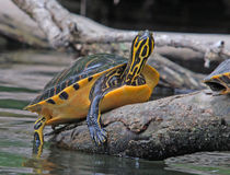 Basking Turtle. Photograph of a strikingly colored turtle basking on a log on a Florida river Stock Photography