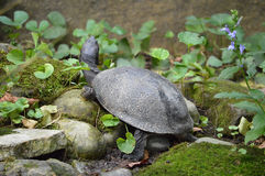 Basking Turtle. Took this at a local zoo. The turtles had a rather nice and large area Royalty Free Stock Photography