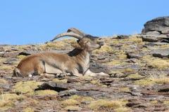 Basking wild goat Stock Images