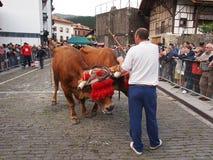 Baskische landelijke sporten - Idi probak (ossentests) Stock Fotografie