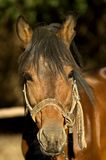 Basotho Pony 3 Royalty Free Stock Photo