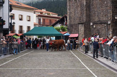 Basque rural sports - Idi probak (oxen tests) Stock Images