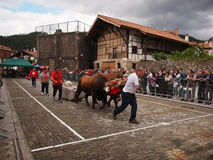 Basque rural sports - Idi probak (oxen tests) Stock Image