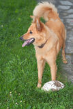 Basque shepherd dog in the garden Stock Images