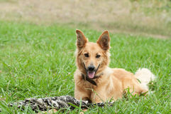 Basque shepherd dog lying in the grass Royalty Free Stock Image