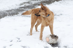 Basque shepherd dog playing with a ball in the yard, on a snowy day Royalty Free Stock Image