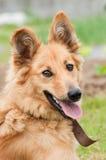 Basque shepherd dog portrait Stock Image
