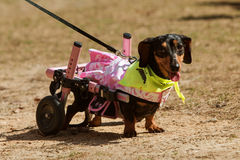 Bassê com Hind Legs Wears Attached Wheels paralizada no evento Imagem de Stock