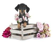 Bassê diminuto do cachorrinho foto de stock royalty free