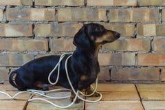 Bassê do construtor do cão envolvido nos fios brancos no fundo da parede de tijolo fotos de stock royalty free