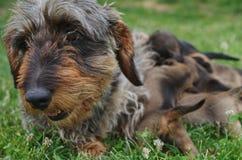 Bassê e puppys Imagem de Stock Royalty Free