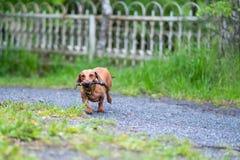 Bassê liso-de cabelo padrão da raça do cão O cão corre, cão para uma caminhada Fotos de Stock