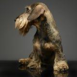 Bassê prendido do cabelo que olha à esquerda em um estúdio cinzento Fotografia de Stock Royalty Free