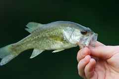 Bass Stock Images