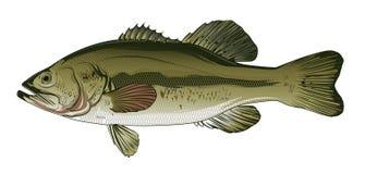 bass Ilustracji
