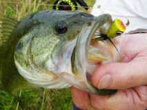 Bass Caught on Fly. A large mouth bass caught on the fly rod using a yellow popper Stock Photo