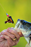 Bass caught on hook. Large mouth Bass with hook in mouth and a man's hand holding the mouth open. Also shows line, sinker, hook, and palstic black and gold worm Royalty Free Stock Images