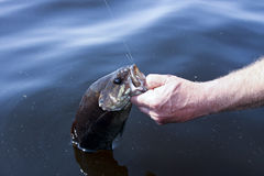 Bass caught by the lip Stock Images