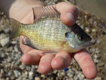 Bass-Fische Lizenzfreies Stockbild