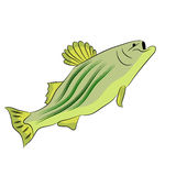 Bass Fish Drawing Royalty Free Stock Photography
