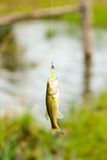 Fish hanging on a  fishing line Royalty Free Stock Photos