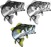 Bass fish isolated Stock Image
