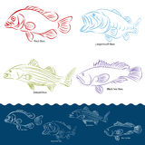 Bass Fish Types Royalty Free Stock Photography
