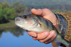 Bass in the hand of fisherman Royalty Free Stock Images
