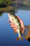 Bass in the hand of fisherman Royalty Free Stock Image
