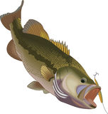 BASS AFTER LURE Royalty Free Stock Photo
