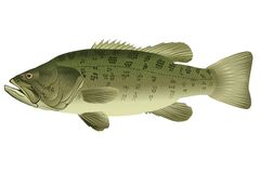 Bass - Micropterus salmoides Stock Photography