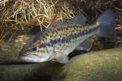 Bass Micropterus-salmoides mit großer Öffnung Frischwasserfische Unterwasser lizenzfreies stockbild